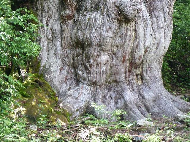 縄文杉の根もと