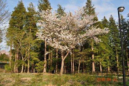 ドッグラン桜