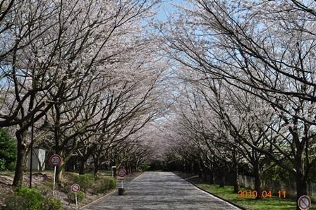 キリスト教大学桜並木