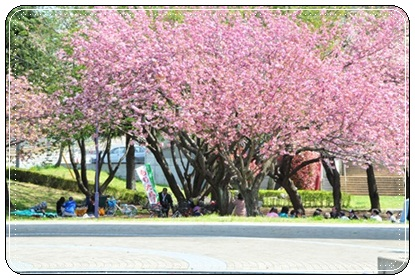 やえ桜全体