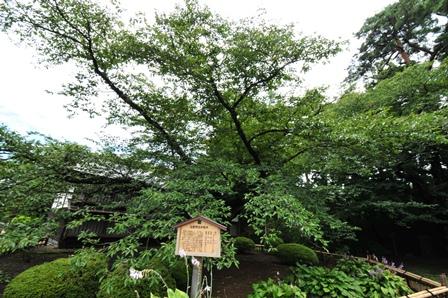 弘前公園桜の木
