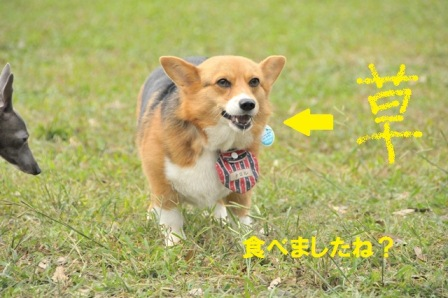 チロルちゃん草