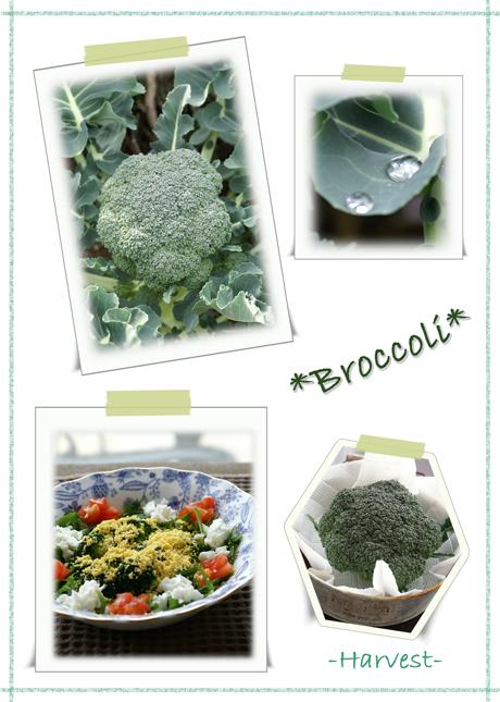 ブロッコリ-収穫web用