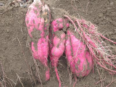 IMG_3531 10 ジャンボさつま芋の収穫