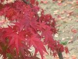 IMG_4159 4 紅葉真っ盛りに