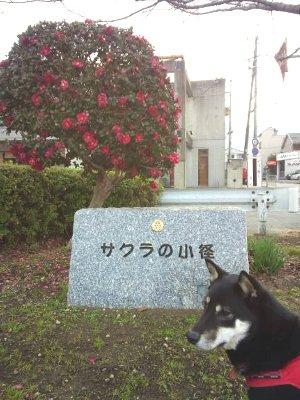 sakuramada01262.jpg