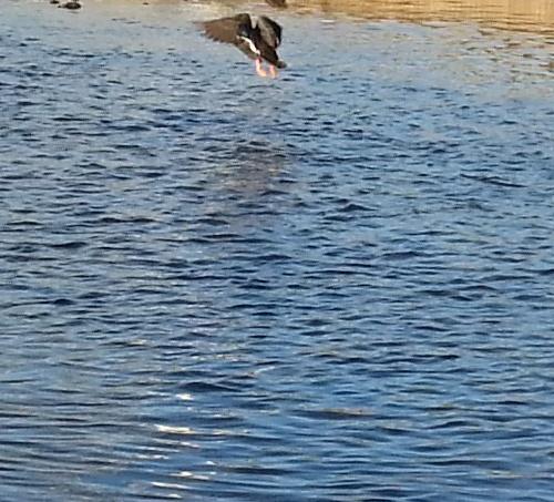 飛び立つ鴨