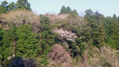 山桜2_convert_20120410211025