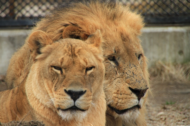 ライオン3