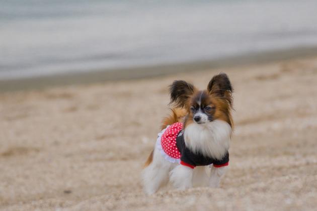 パピヨン撮影会 ~やっと砂浜にたどり着いた編~-004