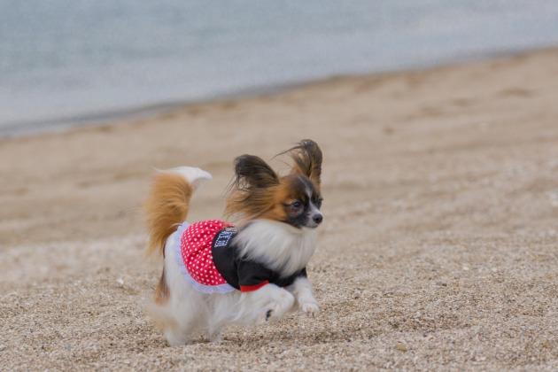 パピヨン撮影会 ~やっと砂浜にたどり着いた編~-005