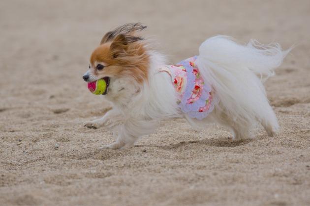 パピヨン撮影会 ~やっと砂浜にたどり着いた編~-016