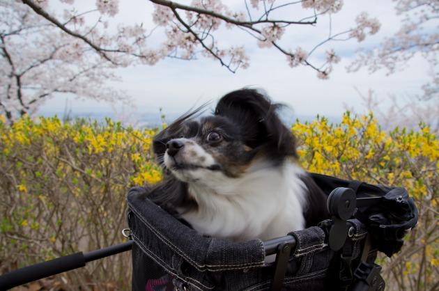7歳最後の日~お花見&シルエット~-009