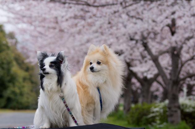 パピヨン撮影会 ~春の深北緑地Ⅰ~-004