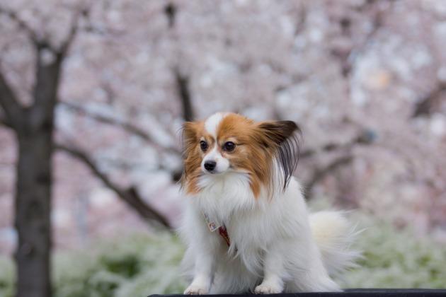 パピヨン撮影会 ~春の深北緑地Ⅰ~-008