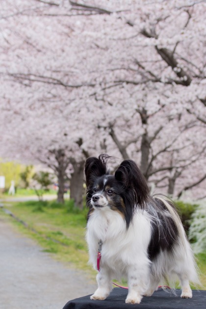 パピヨン撮影会 ~春の深北緑地Ⅰ~-015