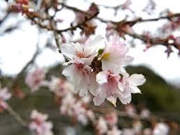 寒桜よ、頼む