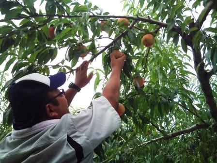20110825川中島収穫 (1)
