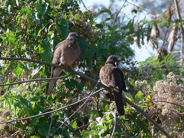 野鳩のカップル