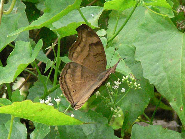 チェンマイの蝶