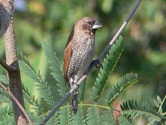 スズメによくにた野鳥(2)