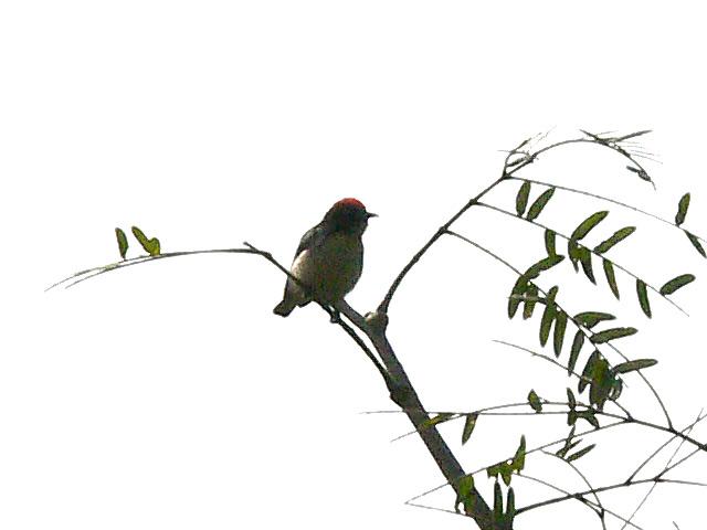 頭の赤い野鳥(2)