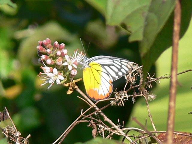 きれいな蝶々です