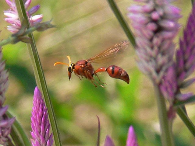 ホバリング中のハチです