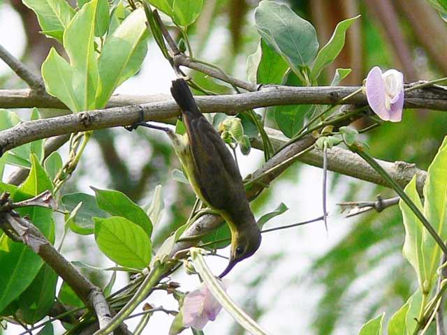 花の蜜を吸う小鳥
