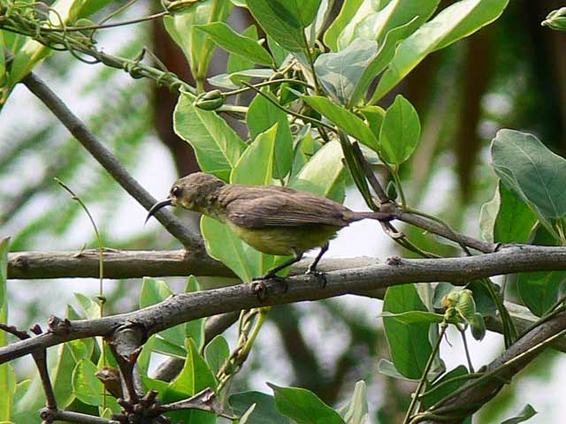 花の蜜を吸う小鳥(2)
