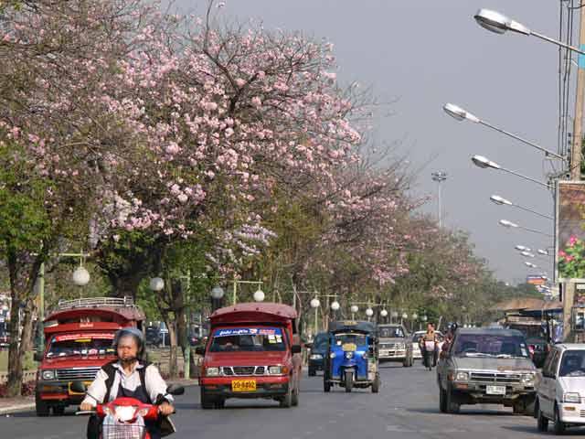 満開の桜並木(チェンマイ)
