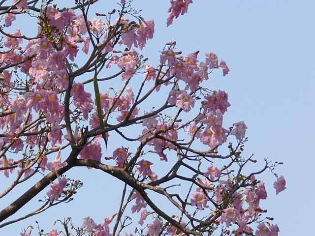 チェンマイの桜(?)