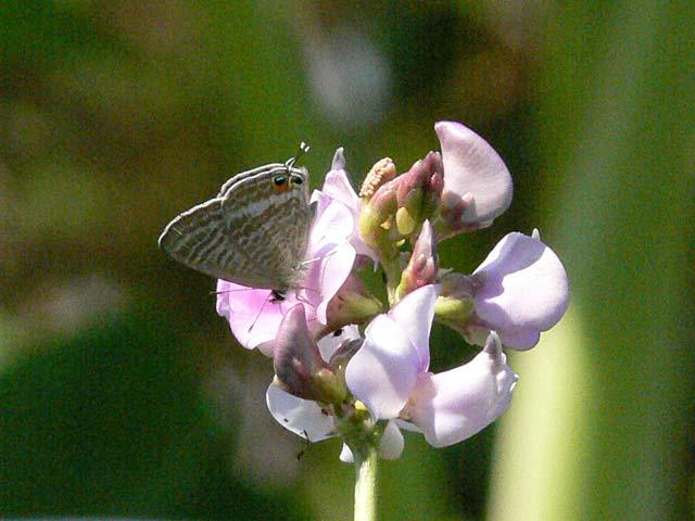 珍しい蝶です