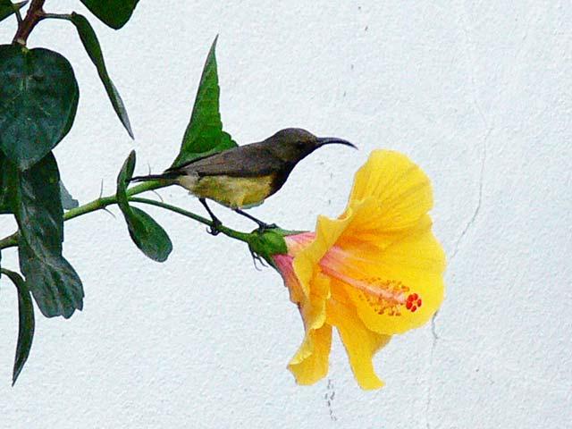 ハイビスカスの花とキバラタイヨウチョウ