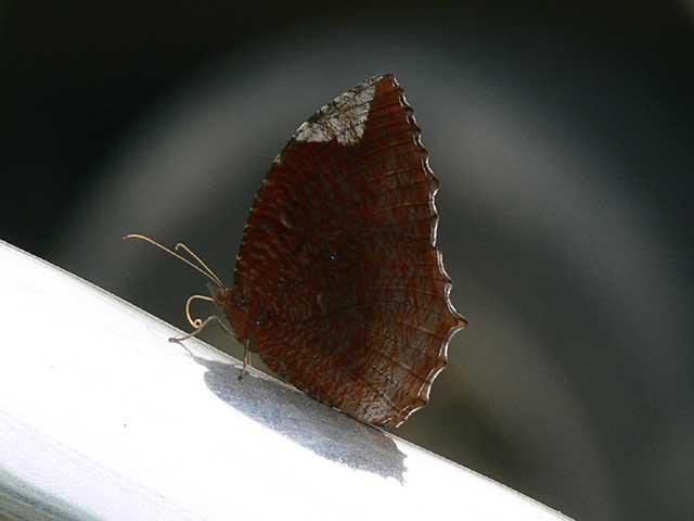 BAANPONGの蝶