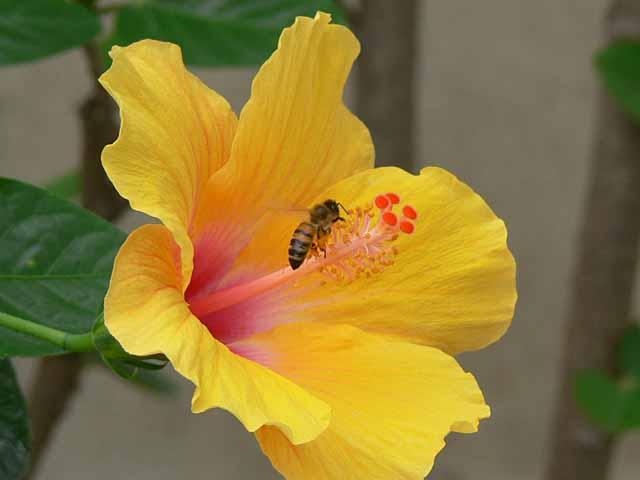 ミツバチとハイビスカス