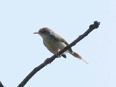 ノドグロサイホウチョウ(♀)