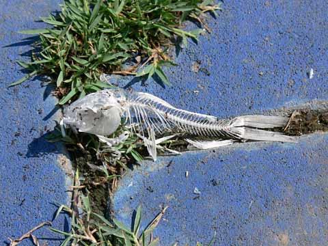 コイの骨格標本