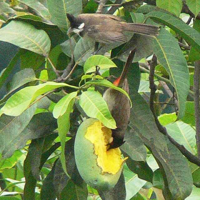 マンゴーに食いつくコウラウン