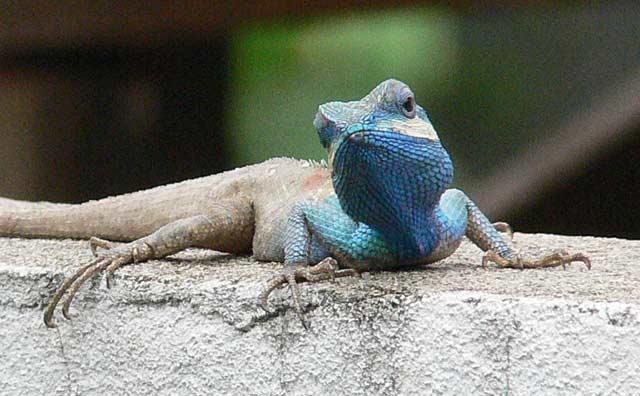 頭部の青いトカゲ(2)