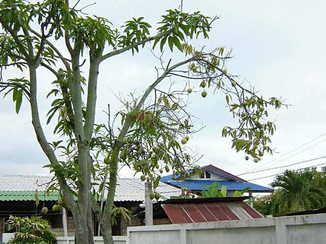 貧弱な我が家のマンゴーの木