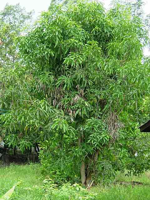 立派に繁る隣家のマンゴーの木
