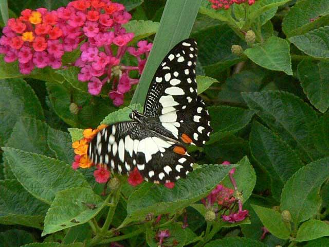 チェンマイの蝶(2)