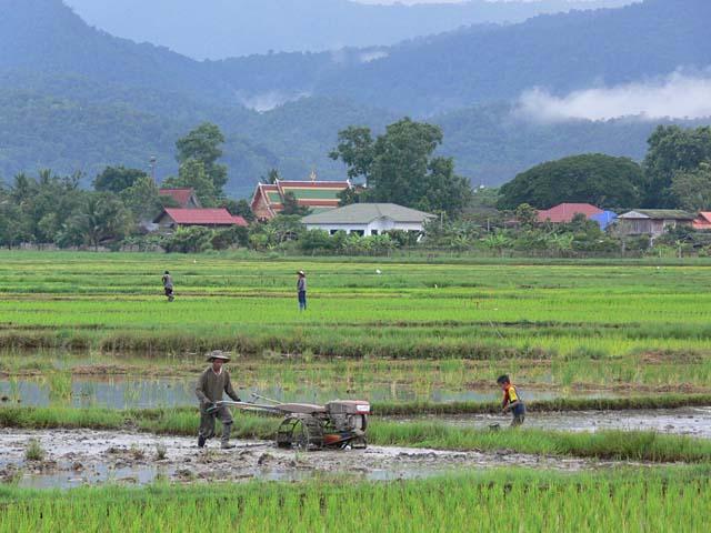 チェンマイ郊外の田植え風景