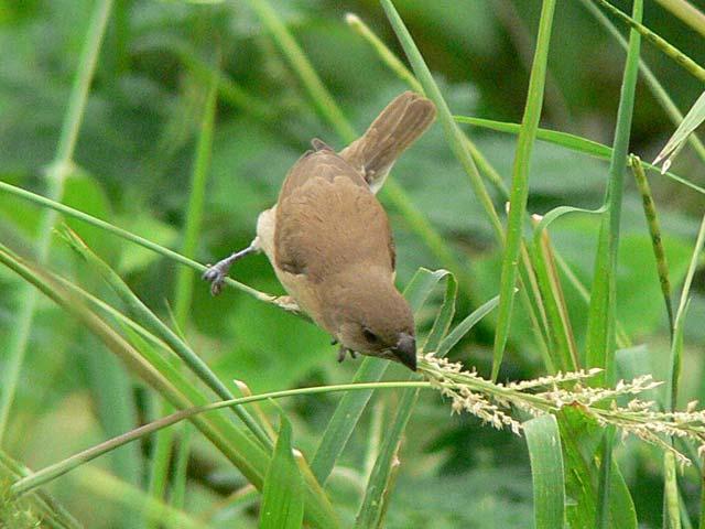 「シマキンバラ」の幼鳥