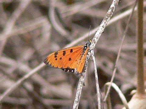 黒地に白い斑点の蝶(羽を開いたところ)