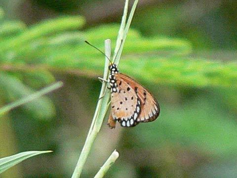 黒地に白い斑点の蝶(羽を閉じたところ)