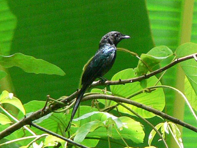 全身真っ黒の野鳥です