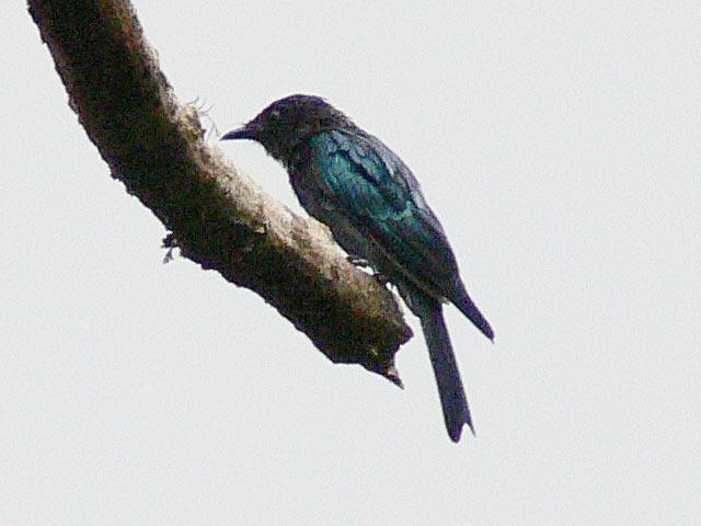 別の真っ黒な野鳥(1)