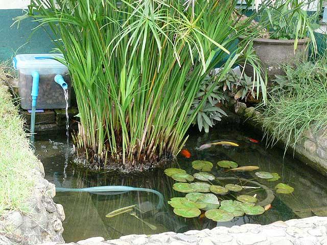 庭の池です
